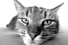 co oznacza mruczenie kota