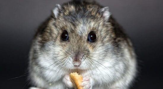 Jedzący chomik