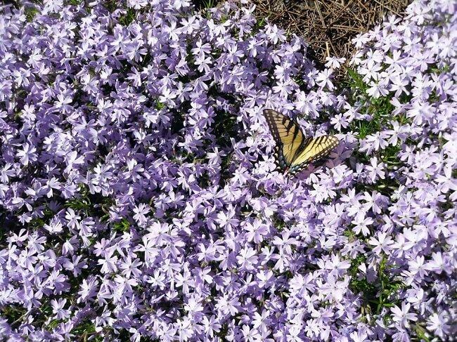 Kwiaty lawendy i motyl
