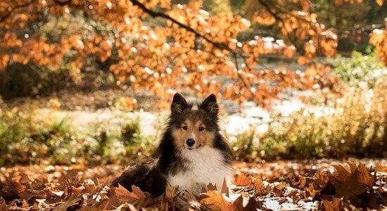 Pies leżący w stercie liści