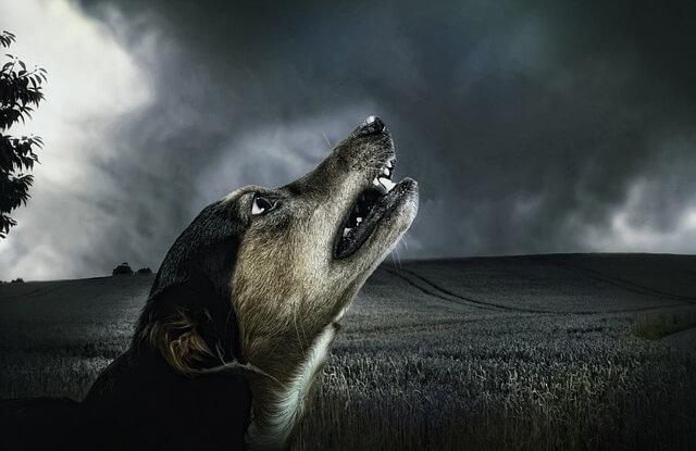 Wyjący pies